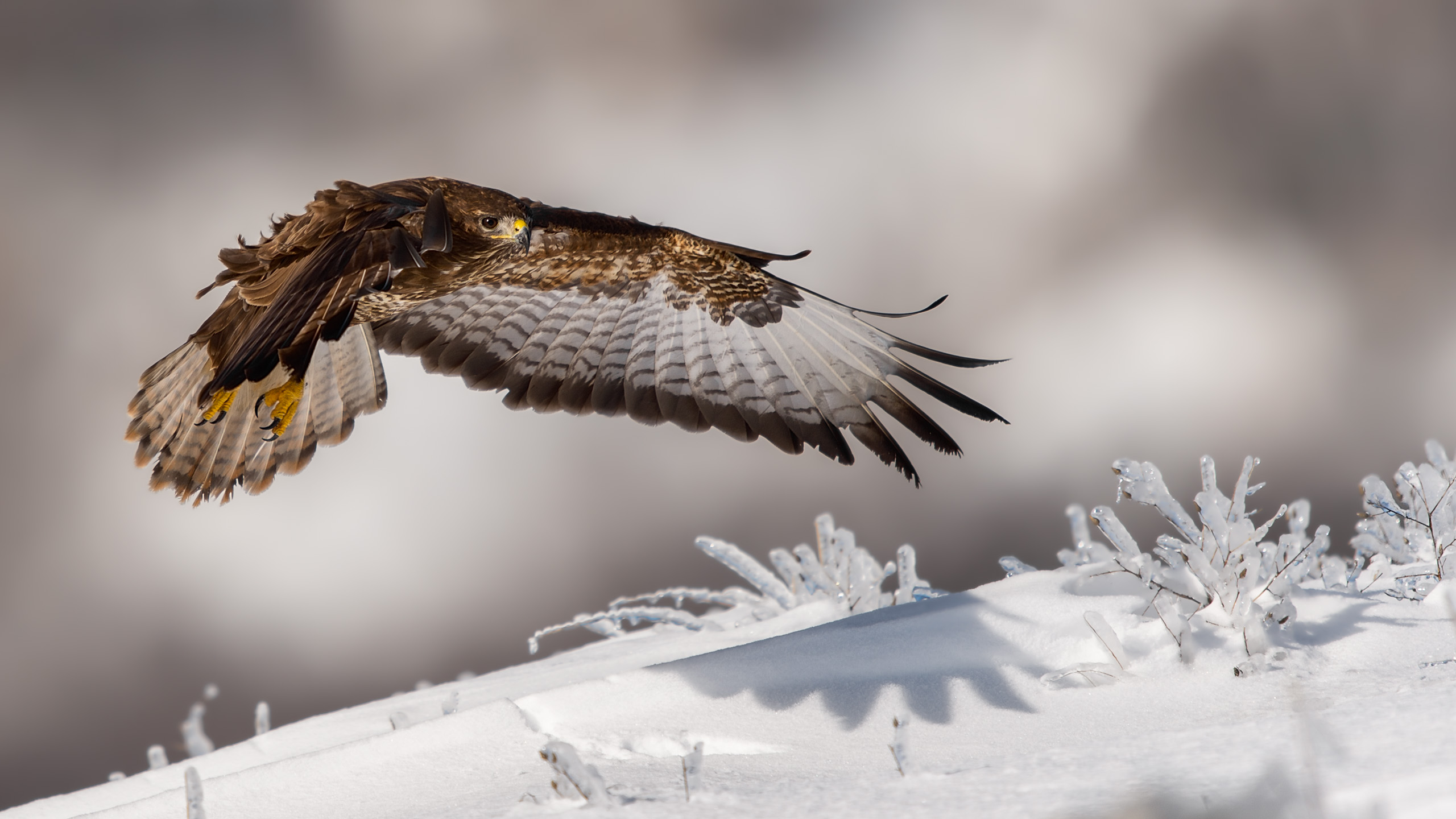 Bussard im Winter