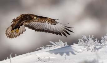 14_Bussard_im_Winter